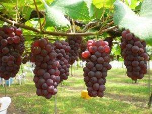 agar anggur bali manis
