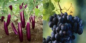 buah-buahan berwarna ungu-biru