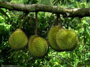 durian indonesia terancam punah